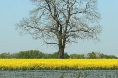 arbre-isolé-dans-les-champs