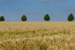 champs-de-blé-et-alignement-darbres