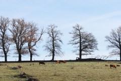 haies-et-élevage-bovin-vallée-de-la-Creuse