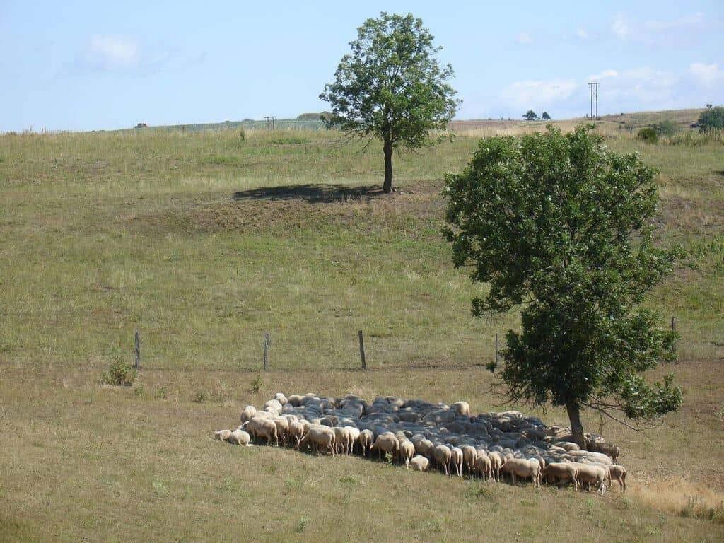 troupeau-à-lombre