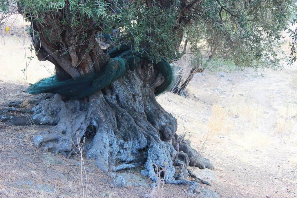 verger-doliviers-centenaires