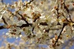 abeille-sur-merisier-en-fleurs