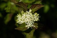 cornouiller-en-fleur