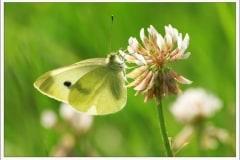 papillon-souci