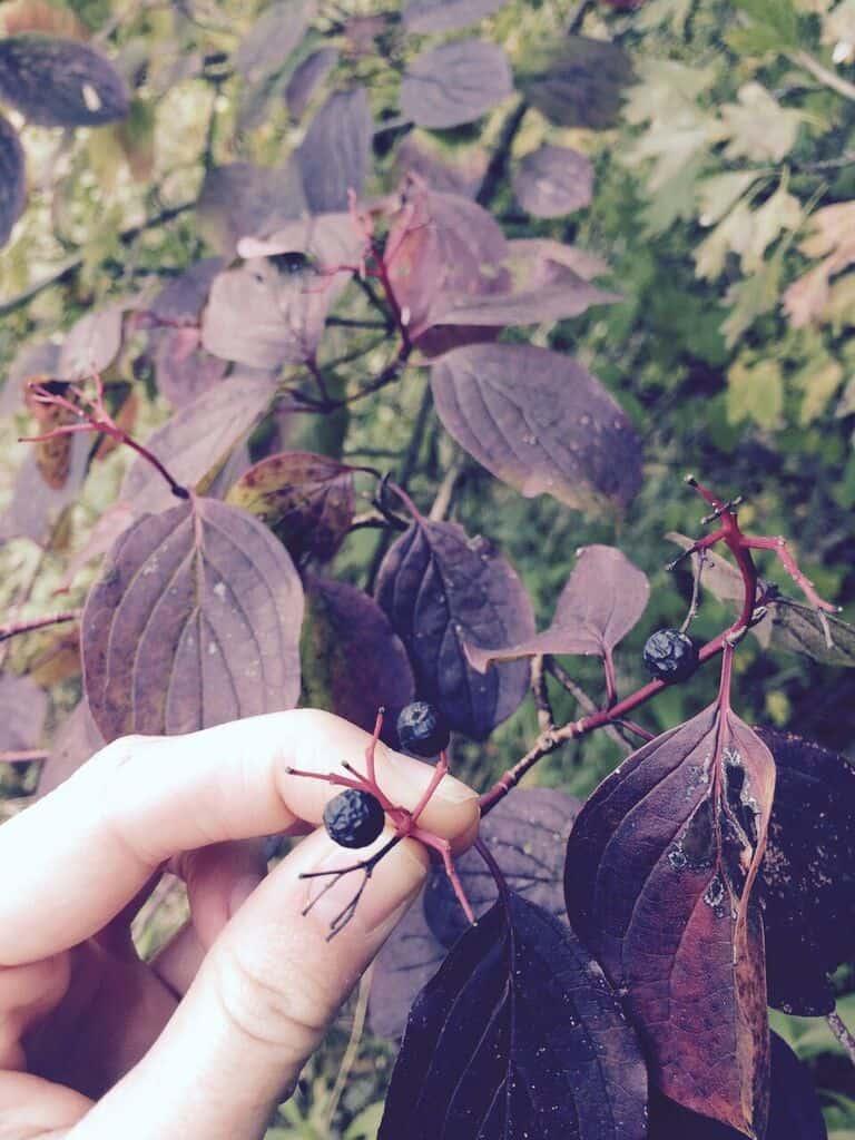 fruit-de-corunouiller-sanguin