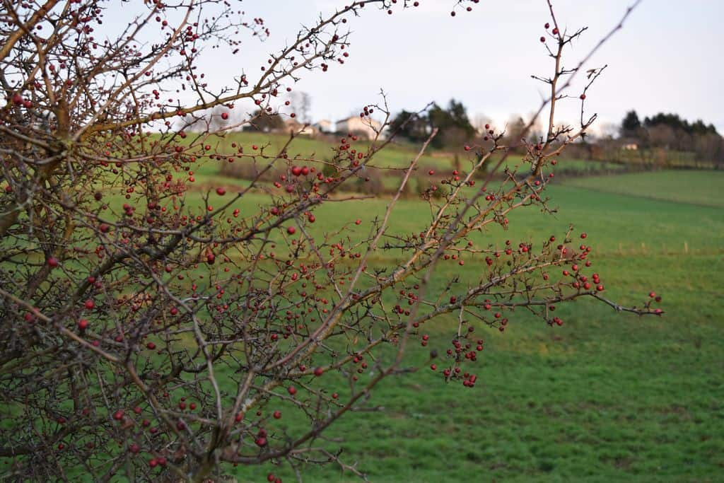 fruits-daubépines