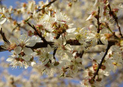 abeille sur merisier en fleurs (Copier)