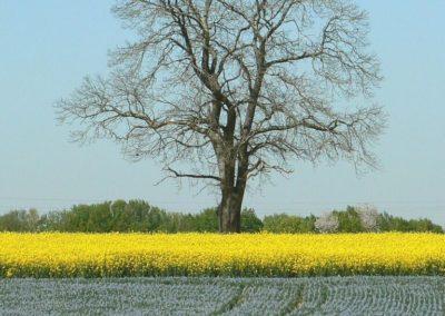arbre isolé dans les champs (Copier)