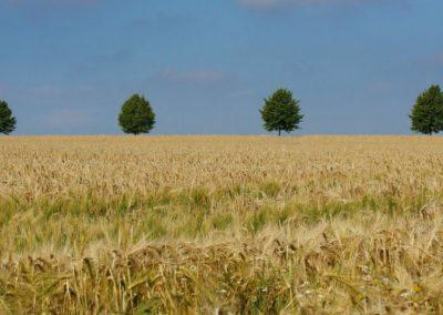 champs de blé et alignement d'arbres (Copier)
