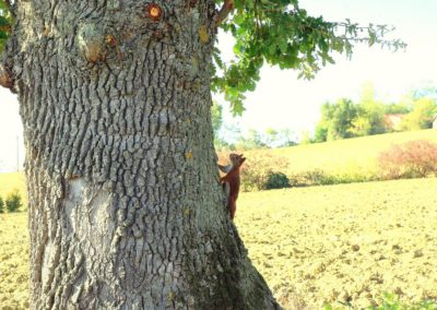 ecureuil sur chêne (Copier)