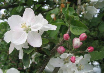 fleur de pommier (Copier)