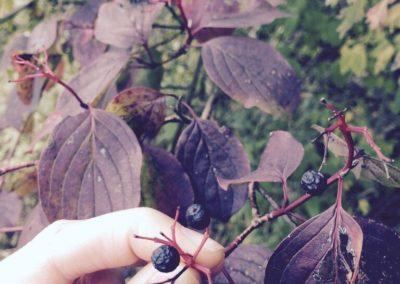 fruit de corunouiller sanguin (Copier)
