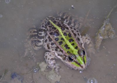 grenouille verte (Copier)