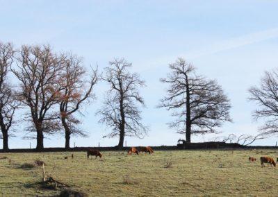 haies et élevage bovin-vallée de la Creuse (Copier)