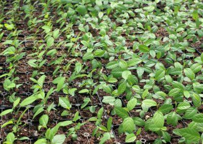 jeunes plants certifiés _Végétal local_ en godet (Copier)