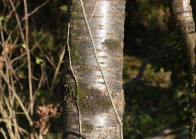merisier (Copier)