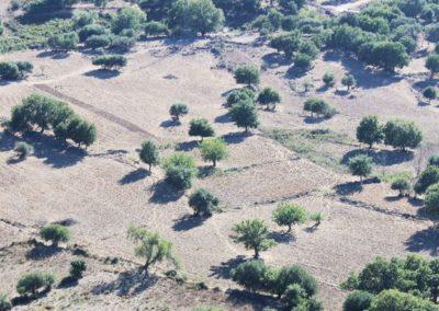 olivier en Corse (Copier)