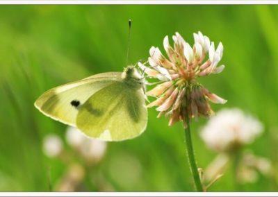 papillon souci (Copier)