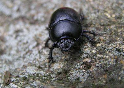 scarabée (Copier)