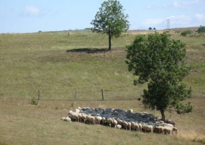 troupeau à l'ombre (Copier)