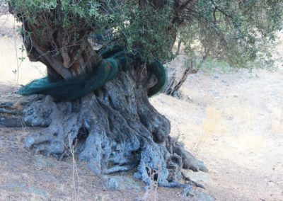 verger d'oliviers centenaires (Copier)