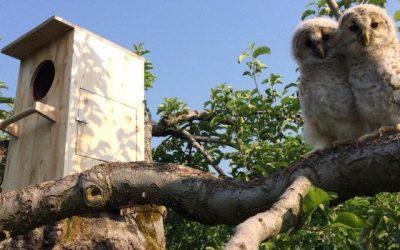 Le rôle de la chouette de l'Oural dans la protection des vergers de pommiers