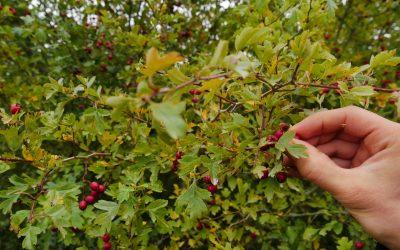 Mise à jour du cahier technique Végétal local « Récolte et mise en culture d'arbres et d'arbustes» par l'Afac-Agroforesteries 🗓 🗺